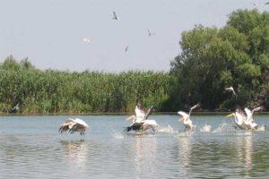 pelikanok-duna-delta-w